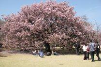 Musim Hanami di Shunjuku Gyoen