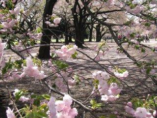 Tender blossoms of sakura