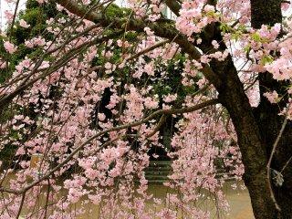 Weeping cherry blosssom