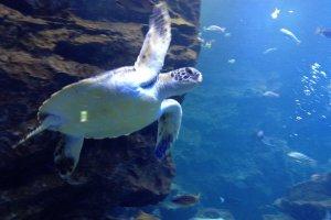 Sea turtle at Kyoto Aquarium