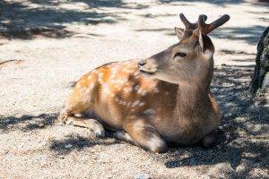 One of Nara Park's many friendly deer.