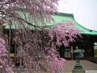 Cherry blossoms on the temple grounds
