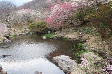Plum Blossoms In Yugawara