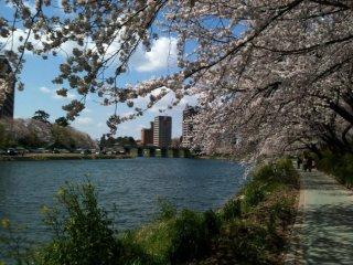 야하기 강줄기를 따라 활짝 핀 벚꽃. 나들이 장소로 안성맞춤이다.