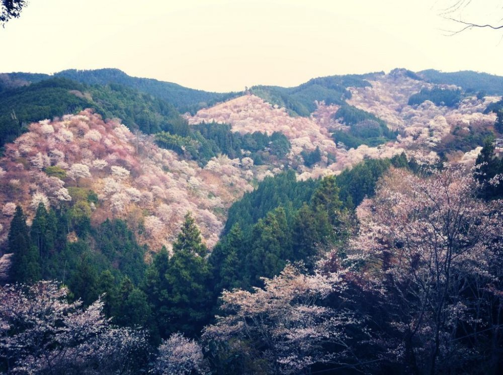 Mount Yoshino Blossoms in April