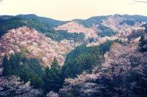 나라 현 요시노 산의 벚꽃