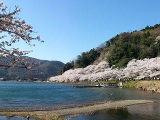 호숫가를 따라 핀 벚꽃