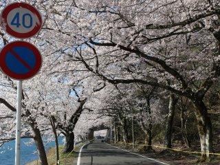 벚꽃나무가 만들어낸 터널