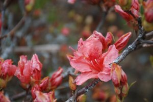 The azalea are starting to bloom