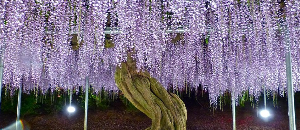 Ashikaga Flower Park in May - Part 2