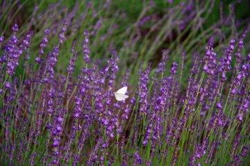 北海道薰衣草漫过的夏天