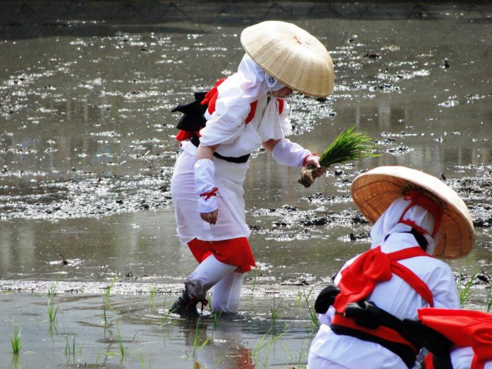 Une femme plante du riz dans la rizière du sanctuaire Sumiyoshi