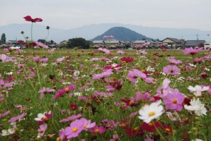 Fields of cosmos and a sacred mountain in the distance