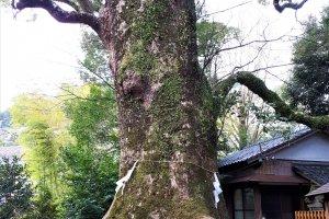 A sacred camphor tree