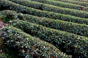 Neat rows of green tea bushes