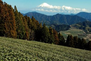 Mount Fuiji and tea fields