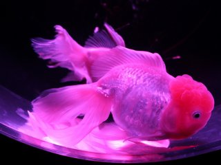 Ikan mas di pameran datang dalam beberapa bentuk dan ukuran yang menampilkan inspirasi artistik