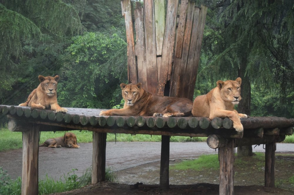 The pride of lions watched us just as intently as we watched them
