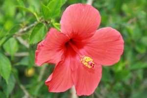 There are hibiscus flowers throughout the park