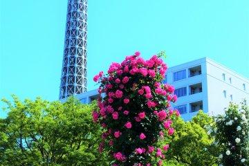 Yamashita Park's Future Rose Garden