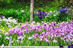 Many varieties of Iris