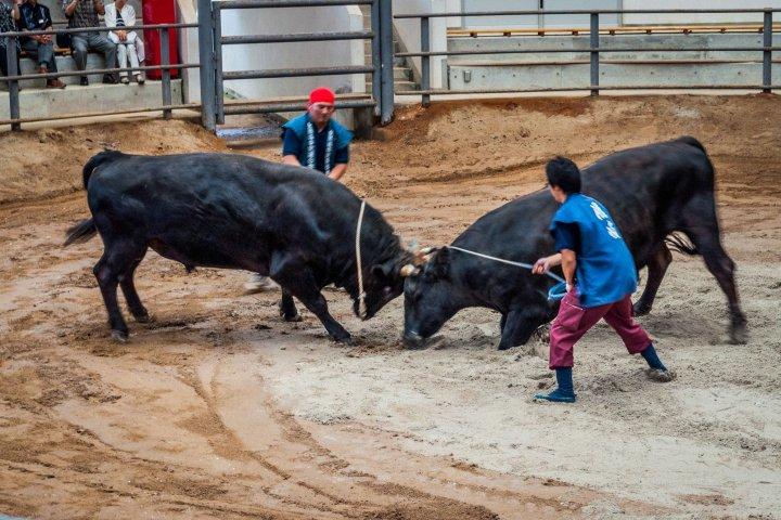 Bull Sumo in Oki