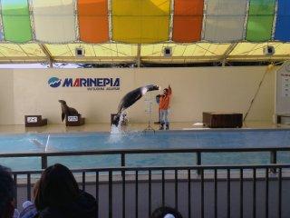 O espetáculo de leões marinhos tem as suas piadas do costume, mas a performance é de facto muito boa! Aprecie as estrelas animais a apanhar aros, voar pelo céu, deslizar pelo palco, marchar em formatura, e jogar basquetebol e voleibol!