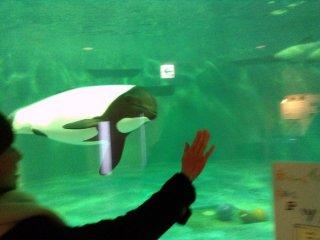 Um grupo de três golfinhos coloridos é de facto uma família. Quando estão alegres, costumam brincar com os visitantes, seguindo as suas mãos cheios de satisfação.