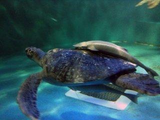 Esta tartaruga está a brincar aos táxis com dois peixes à boleia