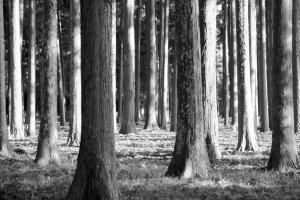 The cedar grove that surrounds the Zuigan-jiTodo.