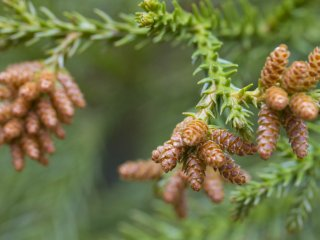 Male pine cones, nearly ready to cast pollen