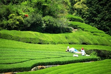 Shizuoka Tea Factory Visit, Tea Leaf Picking Tour