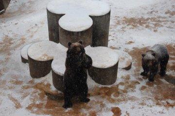 <p>หมีที่นี่สาถมารถไหว้ขอคุกกี้จากนักท่องเที่ยวได้ด้วย</p>