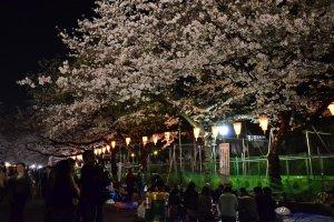 ผู้คนที่มาปูเสื้อนั่งชมซากุระ