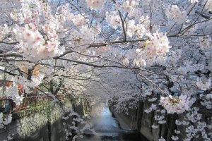 ซากุระฟูฟ่องริมคลองMekuroในวันฟ้าใส