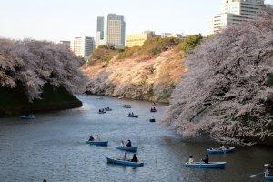 Chidorigafuchi ที่นี่มีเรือให้เช่าพายเพื่อชมซากุระด้วย