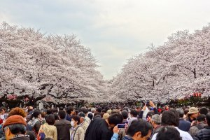 Glorious view of the breathtaking cherry blossom trees at Ueno Park
