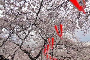 At sunset, 1,300 lanterns are lit so visitors can continue their hanami experience through the late evening.
