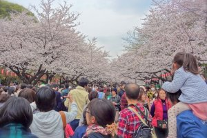 Approximately 2 million people will visit this spacious park to admire the mystical cherry blossom trees