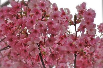 <p>A close-up of&nbsp;Kawazuzakura cherry blossoms</p>