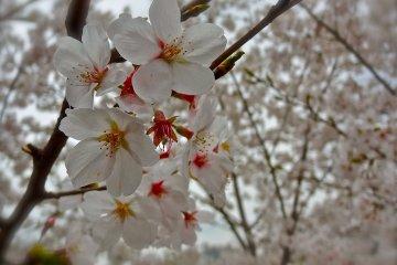 <p>A close-up of the&nbsp;Somei Yoshino (Yoshino Cherry) in its full glory at Ueno&nbsp;Park</p>