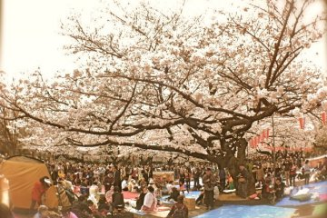 <p>A glimpse of reserved spaces for visitors&nbsp;who are taking part in the&nbsp;hanami experience at Ueno Park</p>