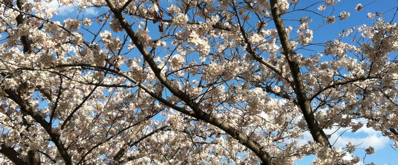 ดอกซากุระที่บานสะพรั่งต้อนรับฤดูใบไม้ผลิที่สวนอุเอโนะ