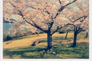 ซากุระมีให้เห็นทั่วไปเกือบทั้งทริปนี้ไม่ได้มีเเค่ที่สวนอุเอโนะที่เดียวค่ะ