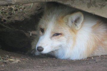 Uno de los zorros, mirándome de cerca.