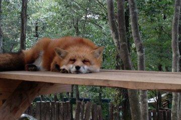 Un zorro cansado.
