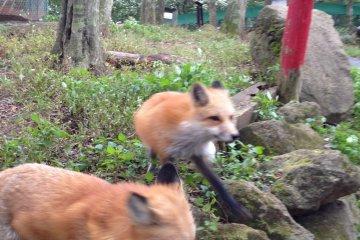 Zorros jugueteando.