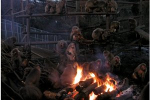 Monkeys warming themselves by the fire at Monkey Park