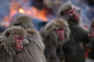 Nihonzaru, Japanese monkeys at Monkey Park