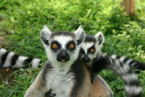 the popular Madigascan Lemurs